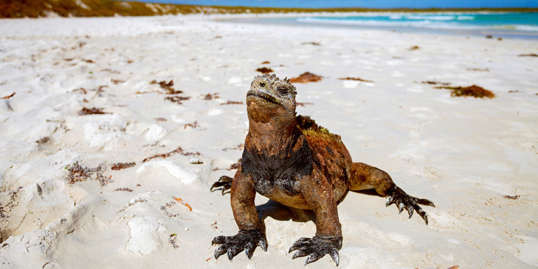 iguanas galapagos cruise