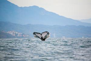 whale coast puerto vallarta mexico